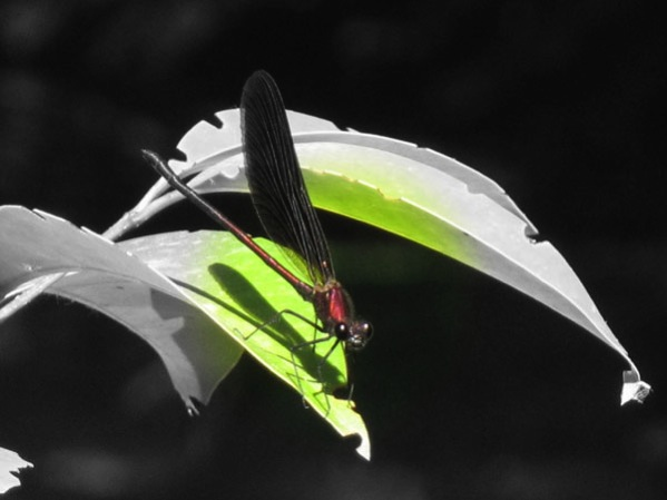Black And White Dragonfly. Dragonfly with focal lack and
